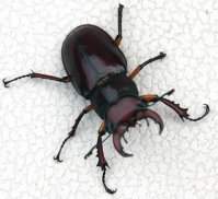 ugly-pincer-beetle-johnfarley